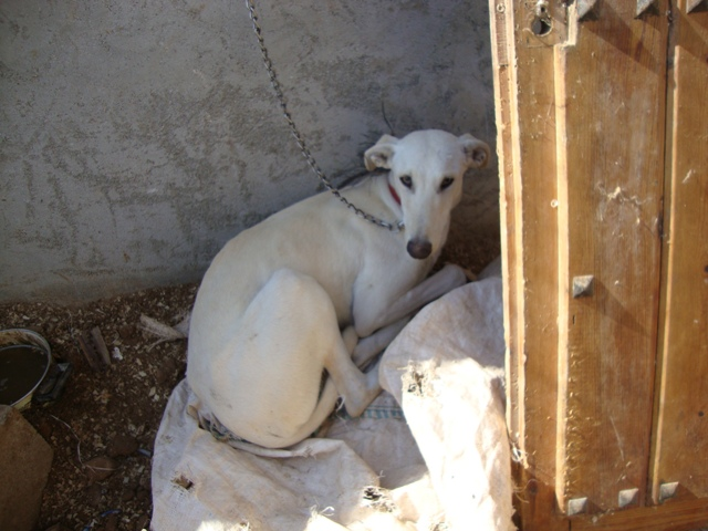 gypsy white galgo