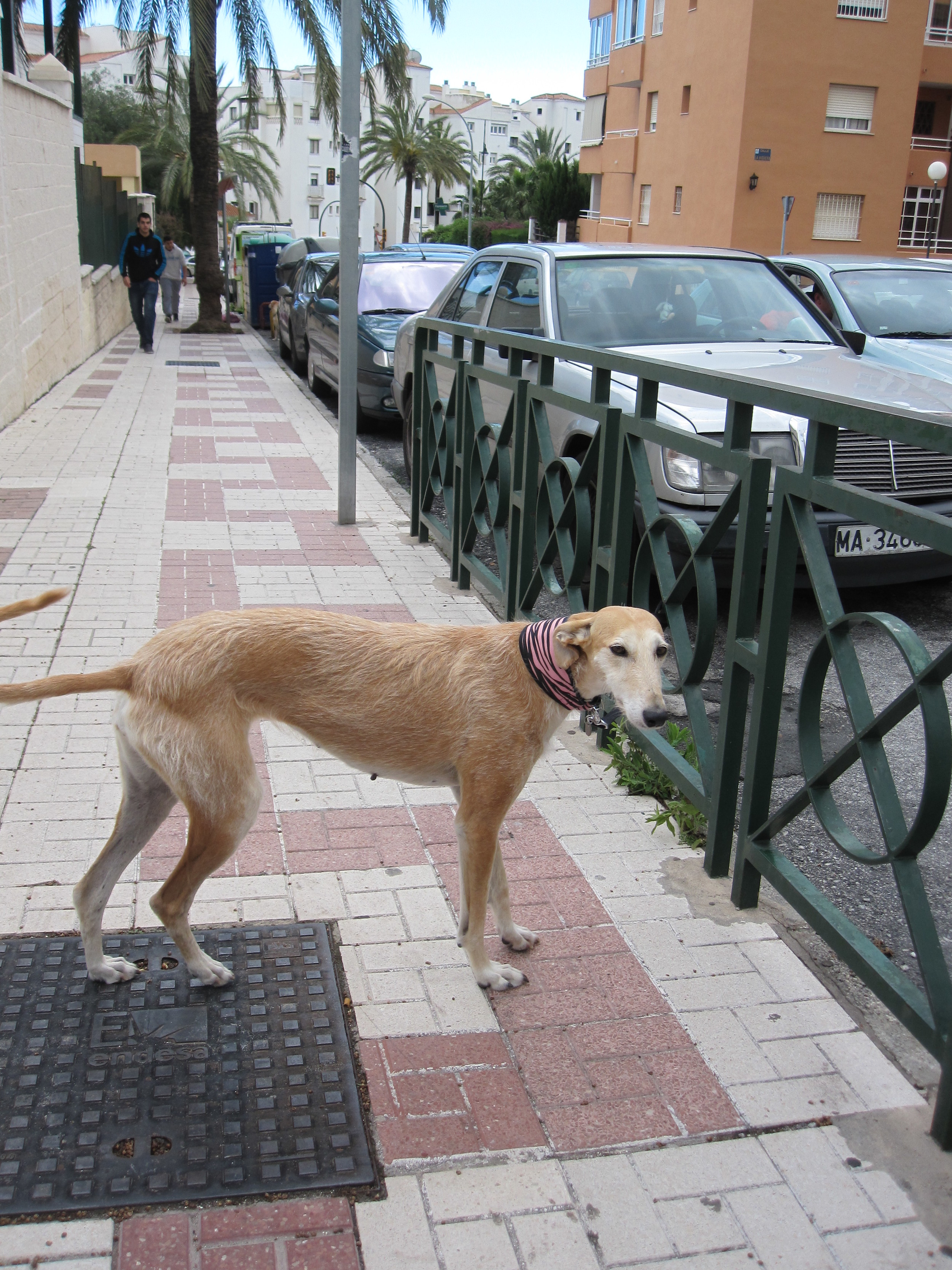 A galgo left tied to a rail waiting for owner...my heart skipped a beat.
