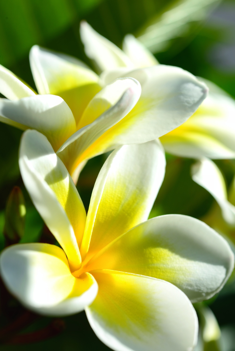 Frangipani Flower. The most beautiful flower on earth. With a scent that you want to have as a perfume. Simplicity in perfection.