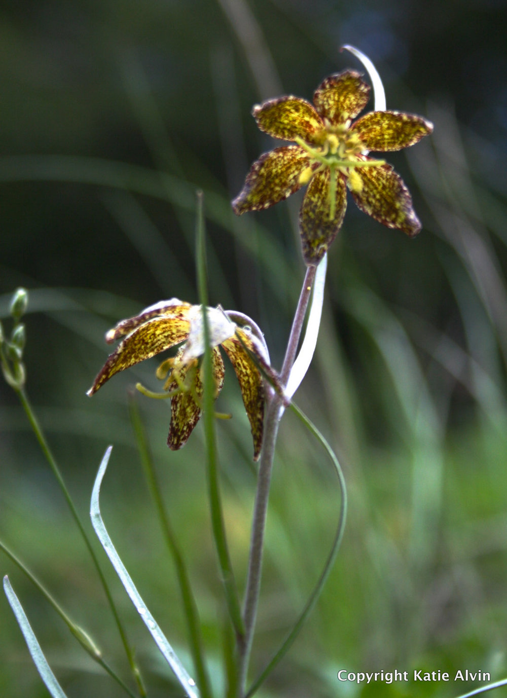 Spotted Fritillary or Leopard Lily