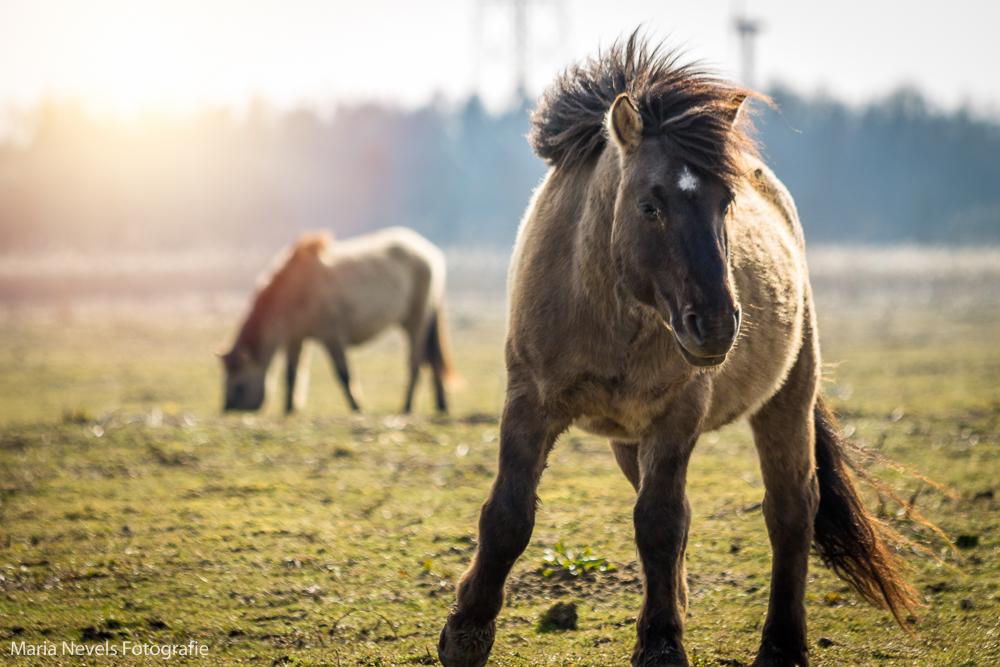 Oostvaardersplassen-Konikpaarden (4).jpg