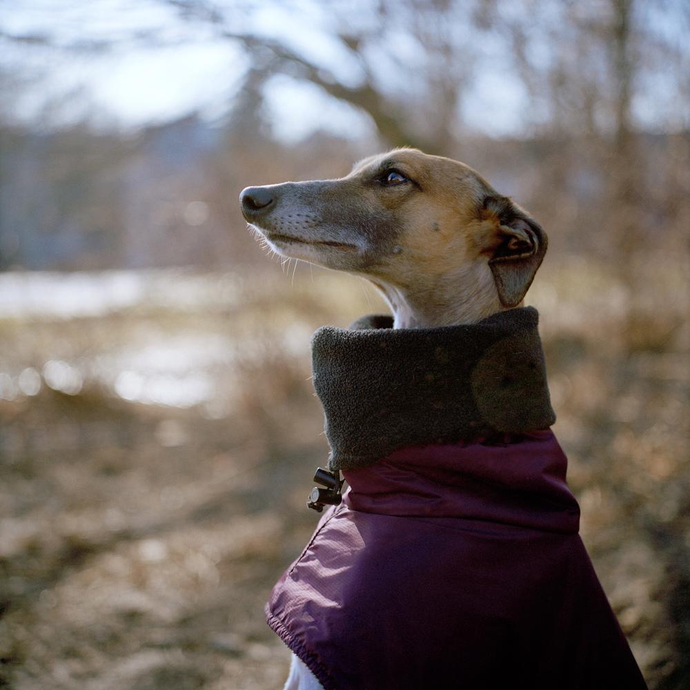 greyhoundheadshoulders.jpg