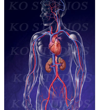 Male glass figure with circulatory system and kidneys