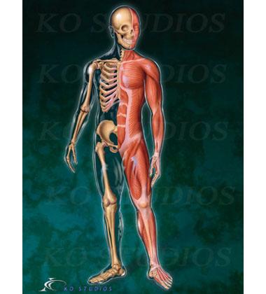 Musculoskeletal Figure