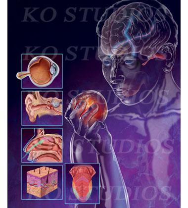 Sensory organs