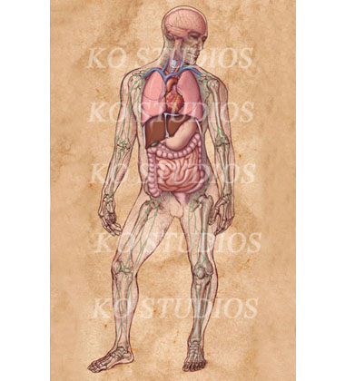 Anatomy figure with limb bones and internal organs