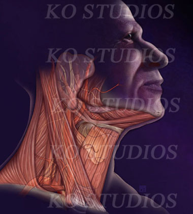 Neck Anatomy