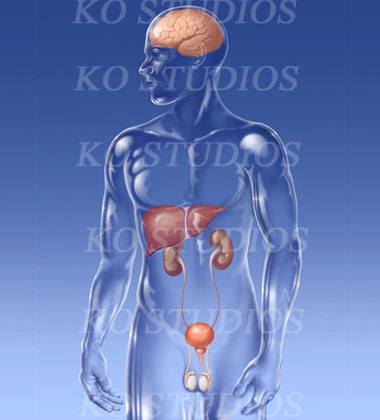 Male glass figure with brain, liver, urinary system