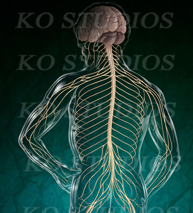 Neuroanatomy Figure