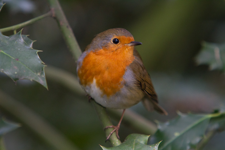 A Robin perches on a Holly Bush in Greenwich Park