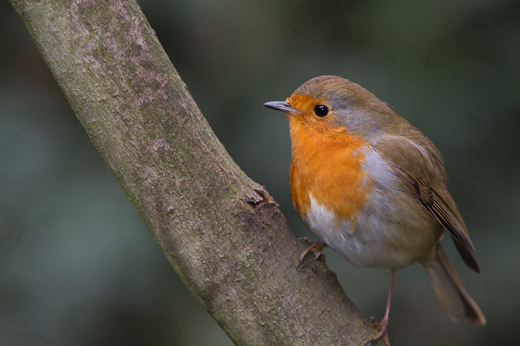 "A Robin on a branch in Greenwich Park's ""wilderness"""