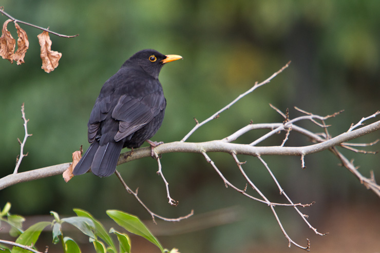 a young male Blackbird on a branch in Greenwich Park