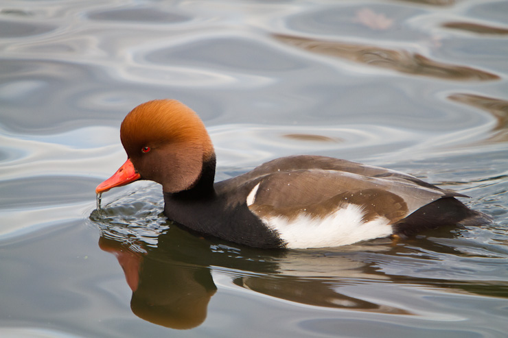 A Male Red Crested Pochard on the water at Greenwich Park