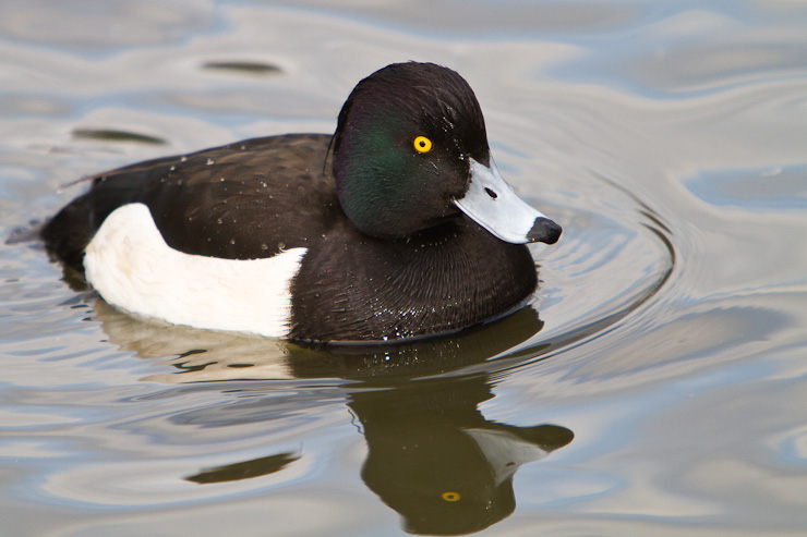 A Male Tufted Duck on the water at Greenwich Park