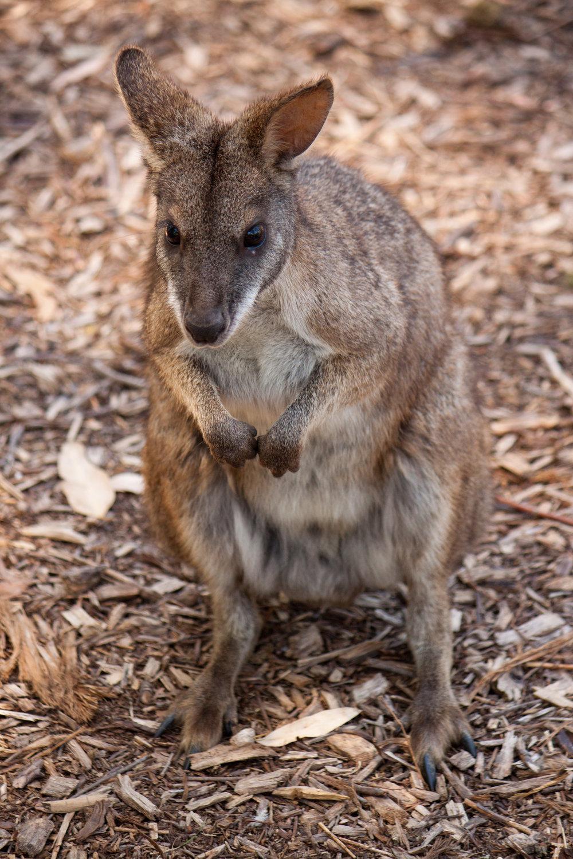 Healesville Sanctuary - Jan 2012 014.jpg