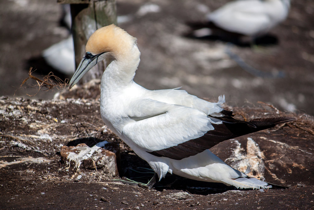 Muriwai Gannet Colony - Feb 2018-11.jpg