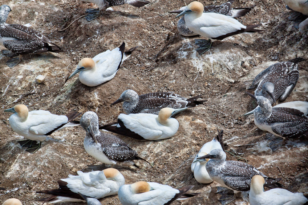 Muriwai Gannet Colony - Feb 2018-1.jpg
