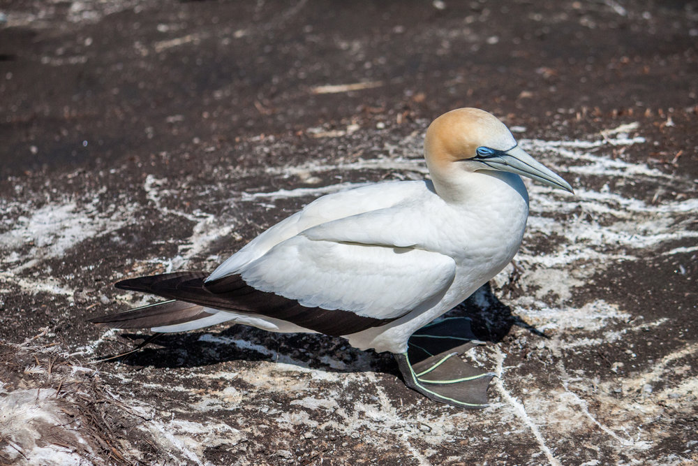 Muriwai Gannet Colony - Feb 2018-8.jpg