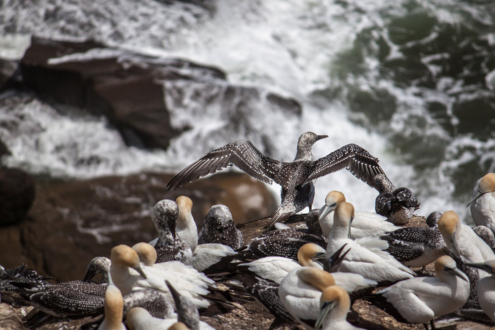 Muriwai Gannet Colony - Feb 2018-4.jpg