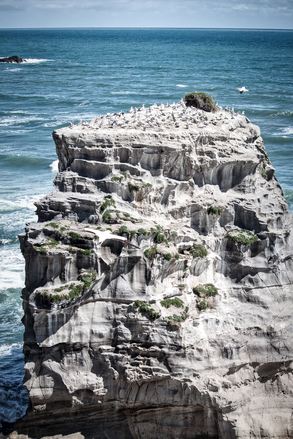 Muriwai Gannet Colony - Feb 2018-14.jpg