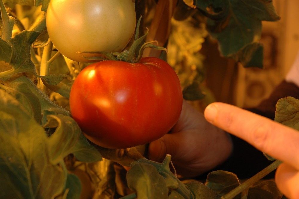 Our competitive Tomato 002.jpg