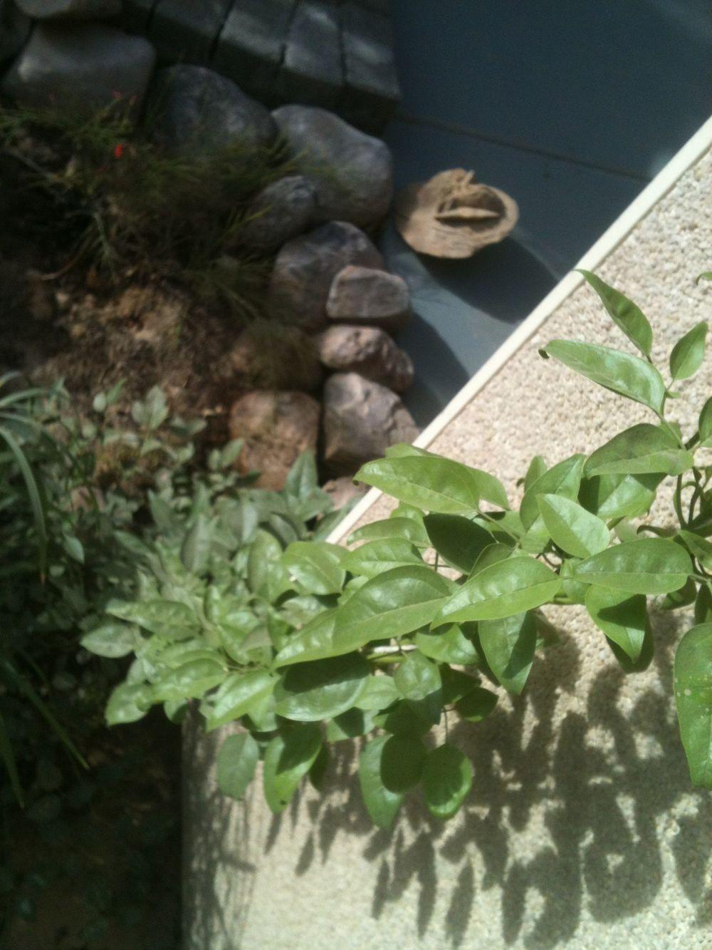 climbing jasmine.jpg