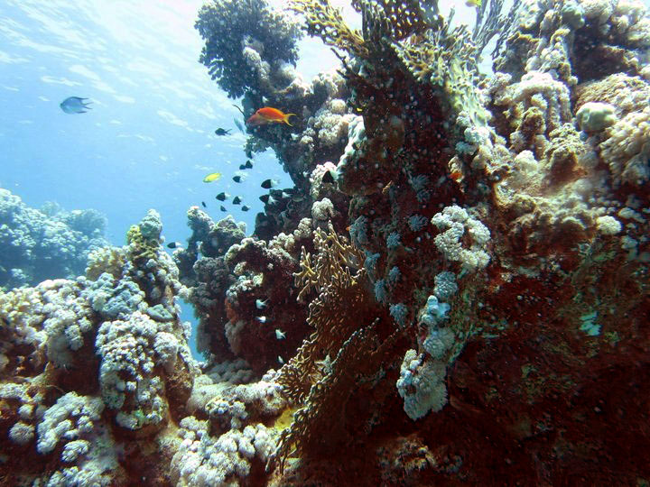 Red sea fish coral.jpg