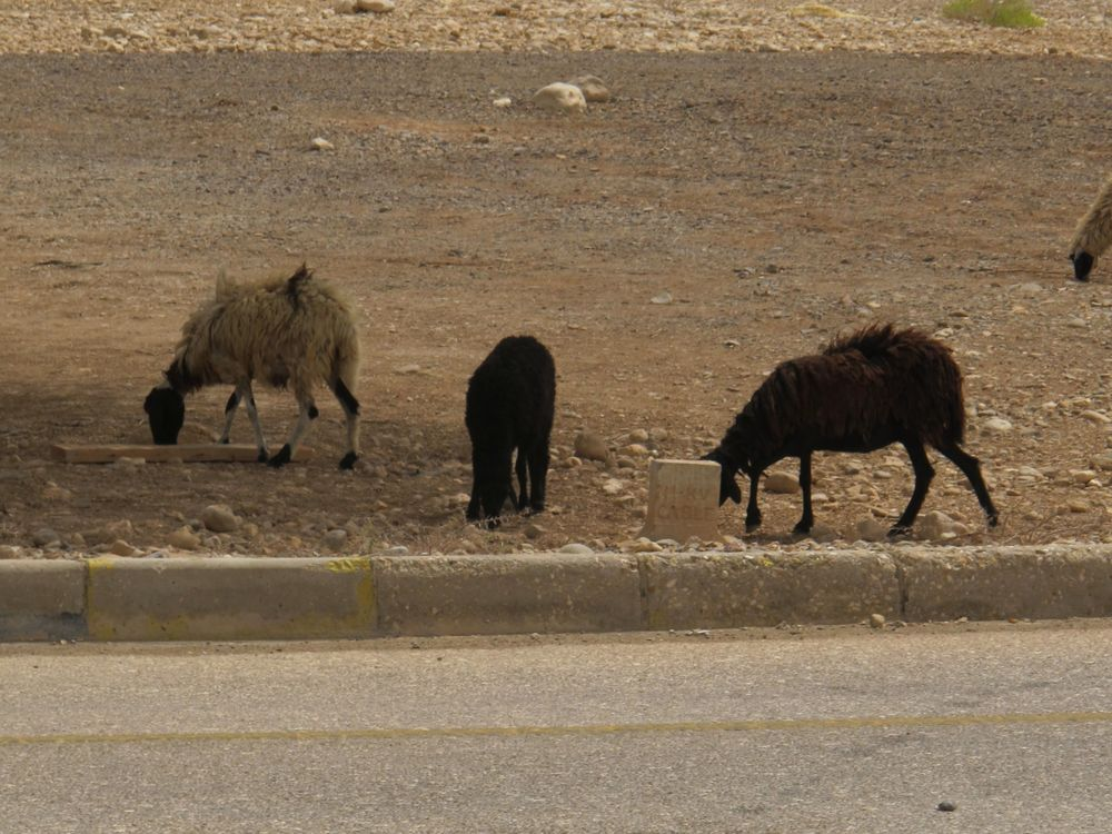 Camels give way to goats on rural Omani roadsides.