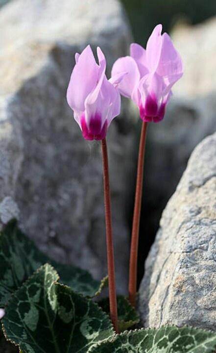 cyclamen on the rocks