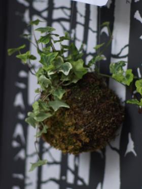 Kokedama Edera variegata