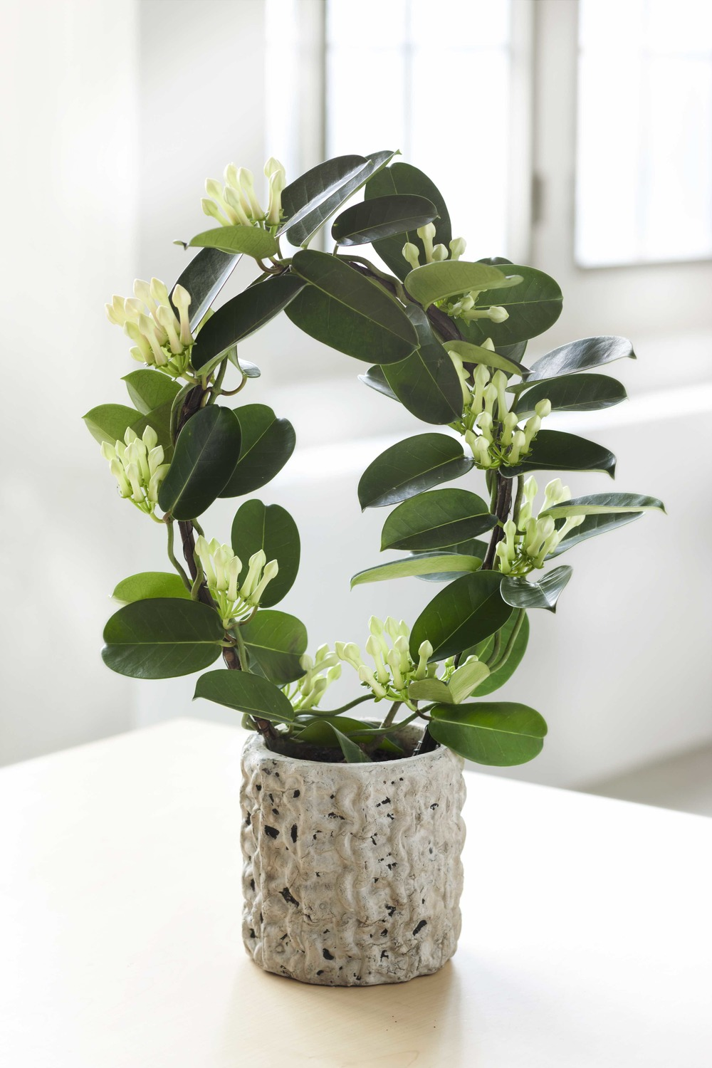 stephanotis in vaso.jpg
