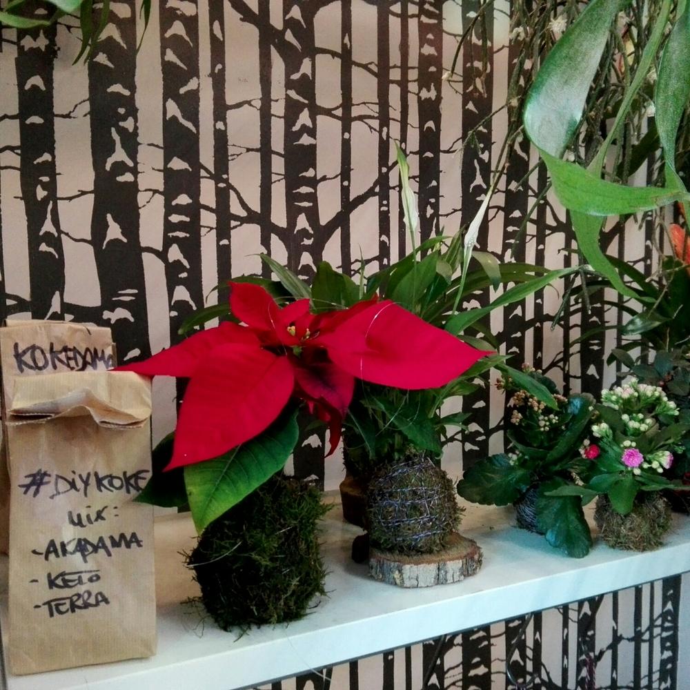 #DIYkoke Stelle di Natale, Kalanchoe mini, e Spathiphillum Pinochet