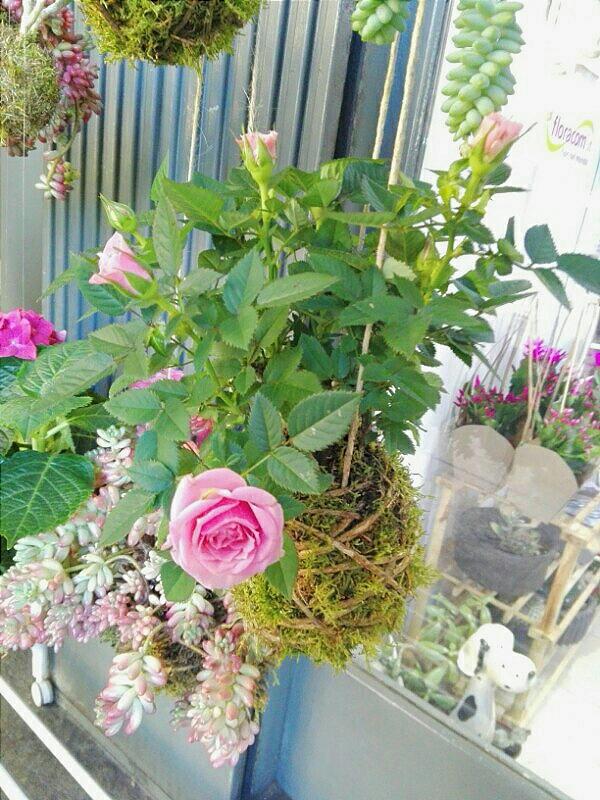 rosellina Pink kokedama