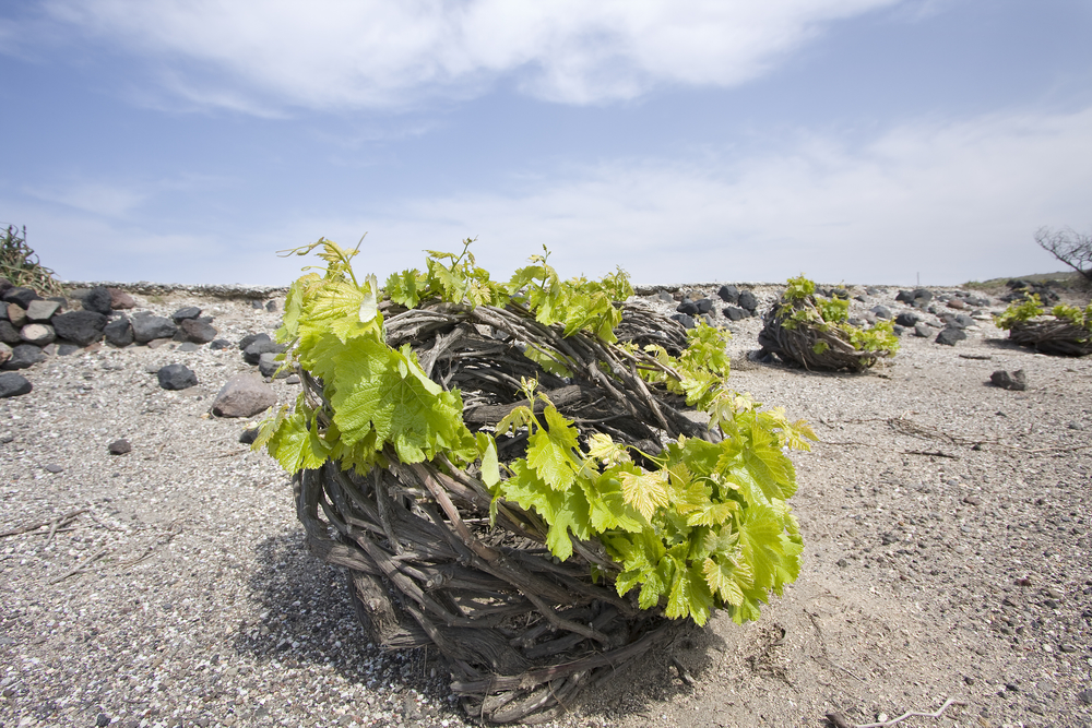 Stefani vines on Santorini