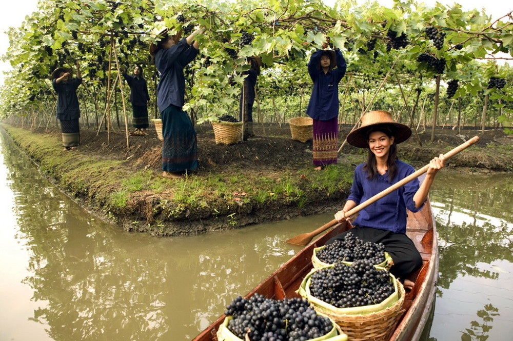 Harvest in the floating vineyards of Thailand