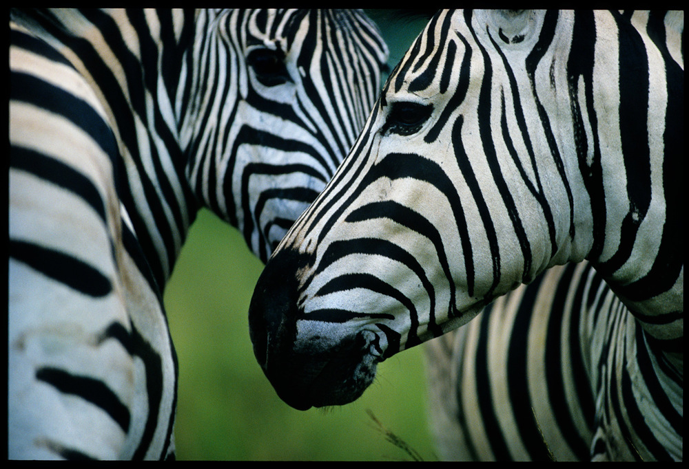 zebra_small.jpg