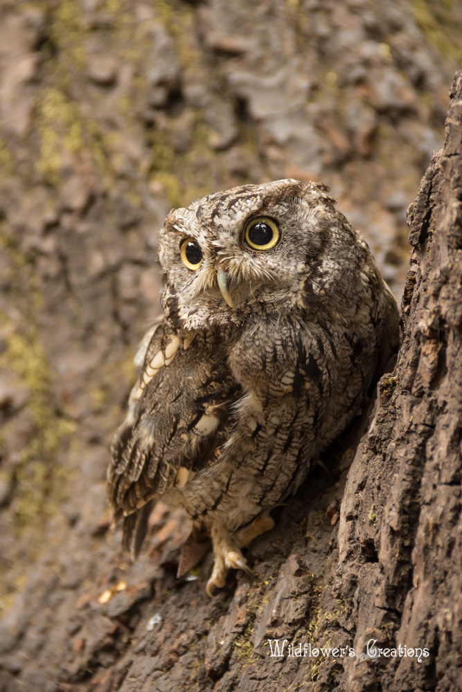2013-08-17 workshop - Screech Owl02.jpg