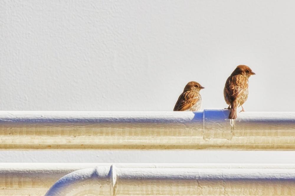 Pipe Birds