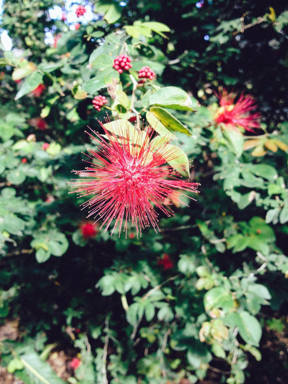 Detail of Pink Powder Puff bloom ( Calliandra surinamensis )