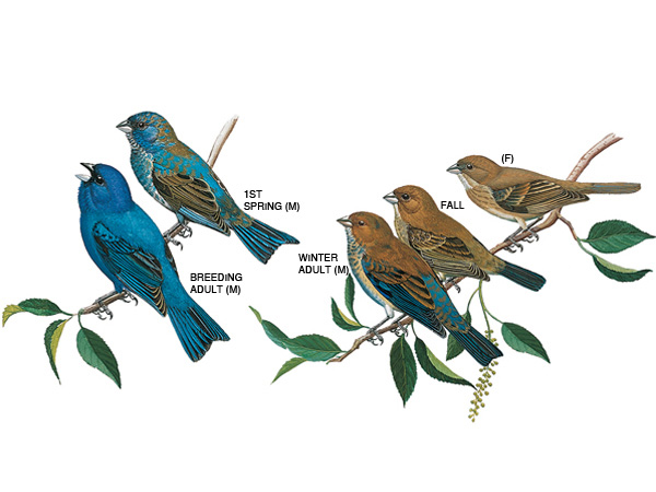 The male is deep blue, with black markings on wings and tail. The female is light brown above, buff beneath. Illustration taken from the Peterson Field Guide to Birds of Eastern and Central North America.
