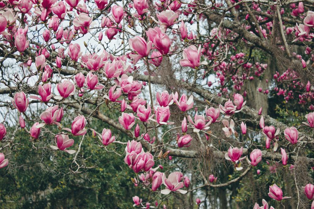 Plant Profile Japanese Magnolia Bloom