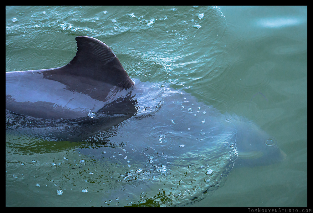 Panasonic G7 + 35-100mm/2.8 lens at f/3.2, 1/1000 second, ISO 400. OMG I just barely caught this  dolphin  swimming in the water right below our feet!