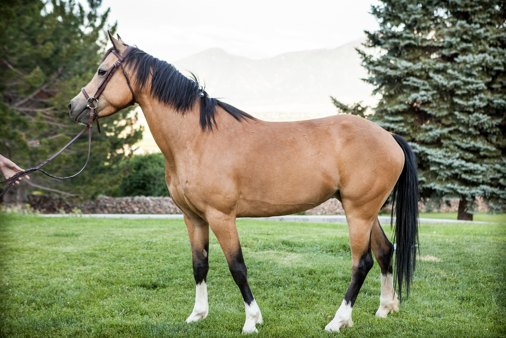 Viva is a welsh pony/quarter horse cross and was born at Valley View.