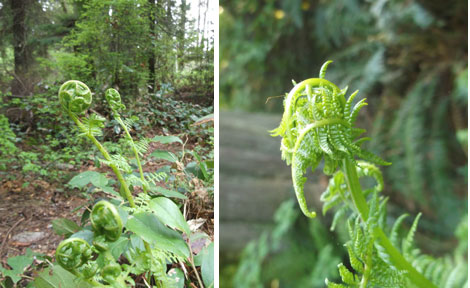 Two photos of fiddleheads taken two weeks apart (left: beginning of April and right: mid April). Notice how the fiddlehead on the right is starting to uncurl.