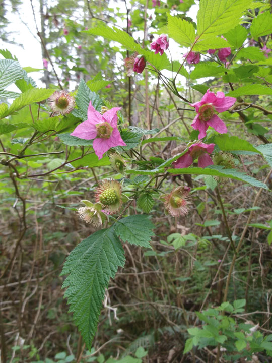 """Some salmonberry canes hanging out in the forest in April. You'll see that some green berries are beginning to form with a muppet-like fringe around their """"necks""""."""