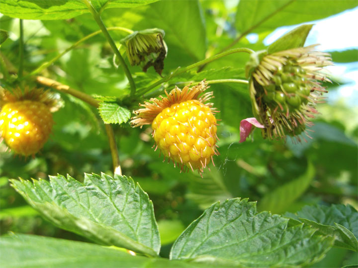 Some yellow salmonberries moving toward ripeness.