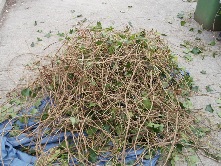 Our raw materials - English ivy that had recently been pulled from the park.