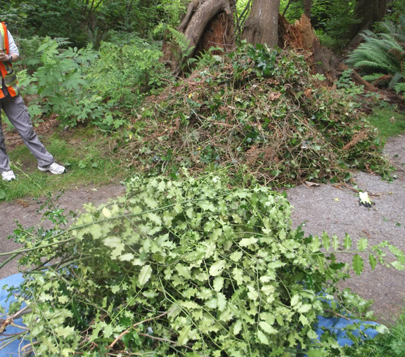 Here are two piles of invasive species that the Eco-Stewards pulled last weekend. The pile in the front is holly, and the ivy is piled in the back. Sorry about the camera smudge!