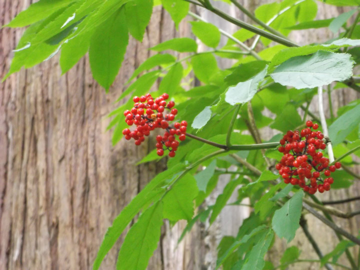 Red elderberries in late June.