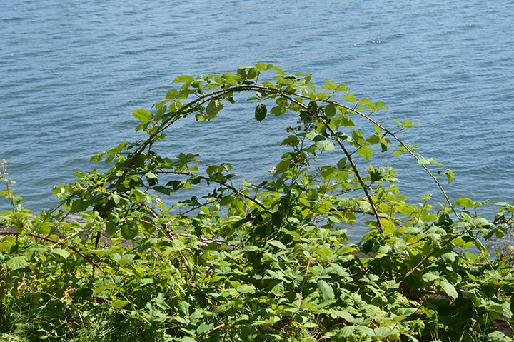 Sometimes Himalayan blackberry branches form arcs and re-root at the tip.